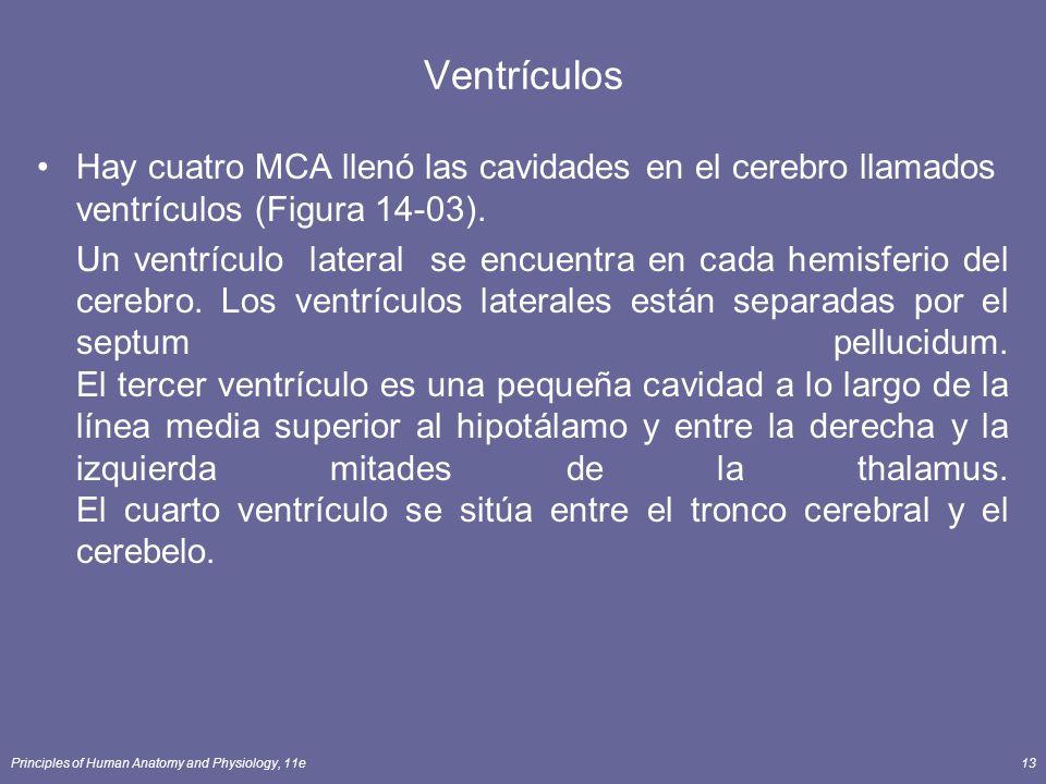 Ventrículos Hay cuatro MCA llenó las cavidades en el cerebro llamados ventrículos (Figura 14-03).