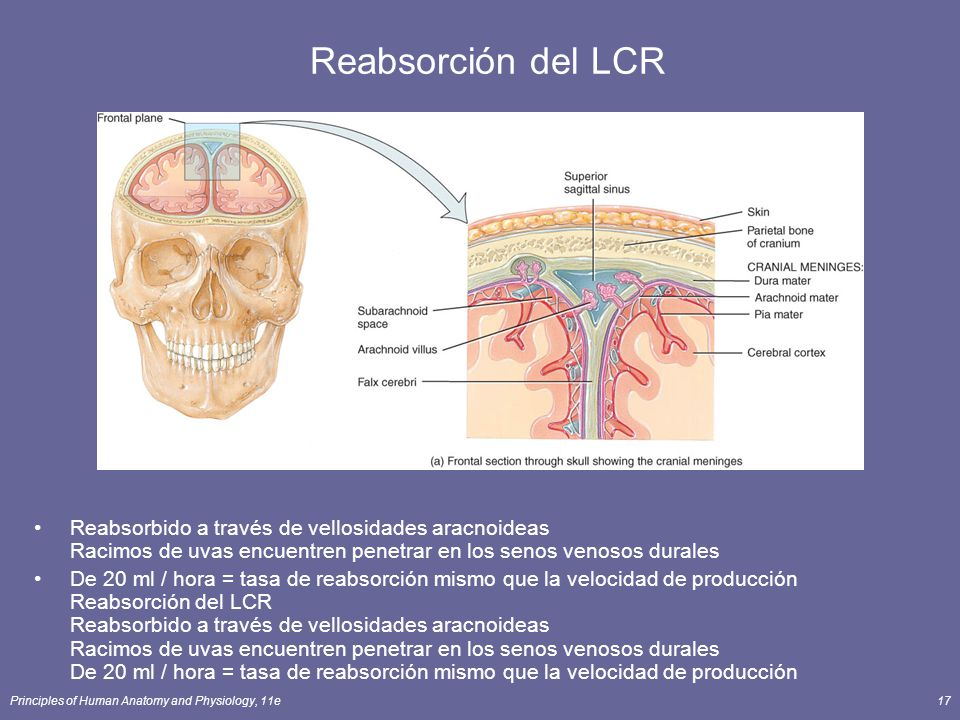Reabsorción del LCR Reabsorbido a través de vellosidades aracnoideas Racimos de uvas encuentren penetrar en los senos venosos durales.
