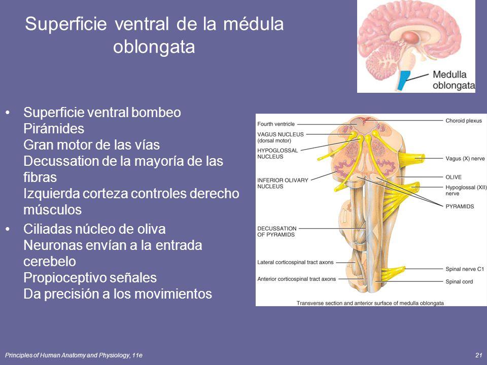 Superficie ventral de la médula oblongata