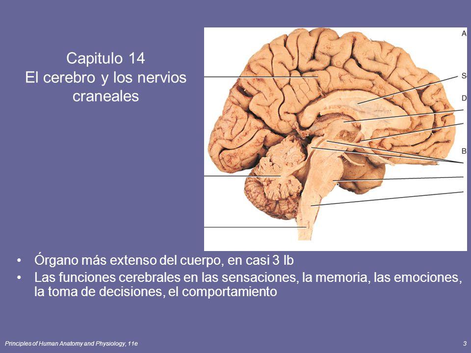 Capitulo 14 El cerebro y los nervios craneales