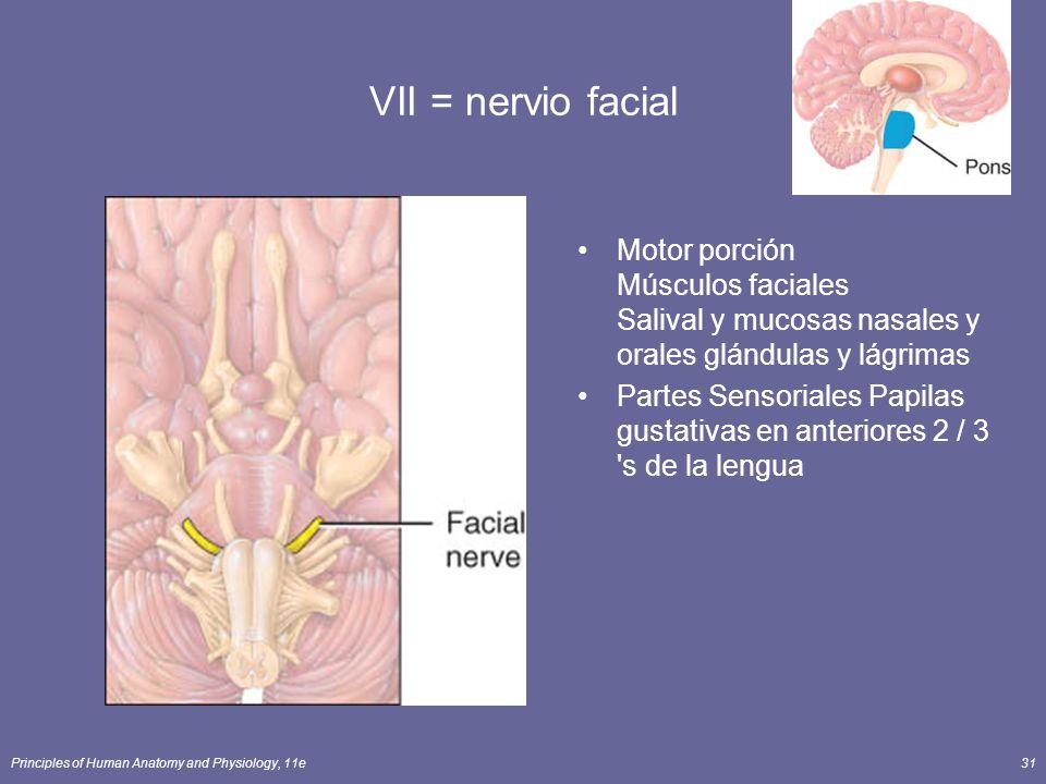 VII = nervio facial Motor porción Músculos faciales Salival y mucosas nasales y orales glándulas y lágrimas.