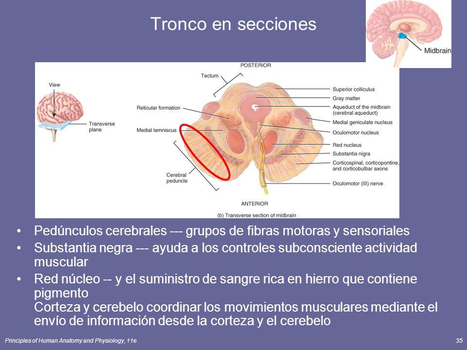Tronco en secciones Pedúnculos cerebrales --- grupos de fibras motoras y sensoriales.
