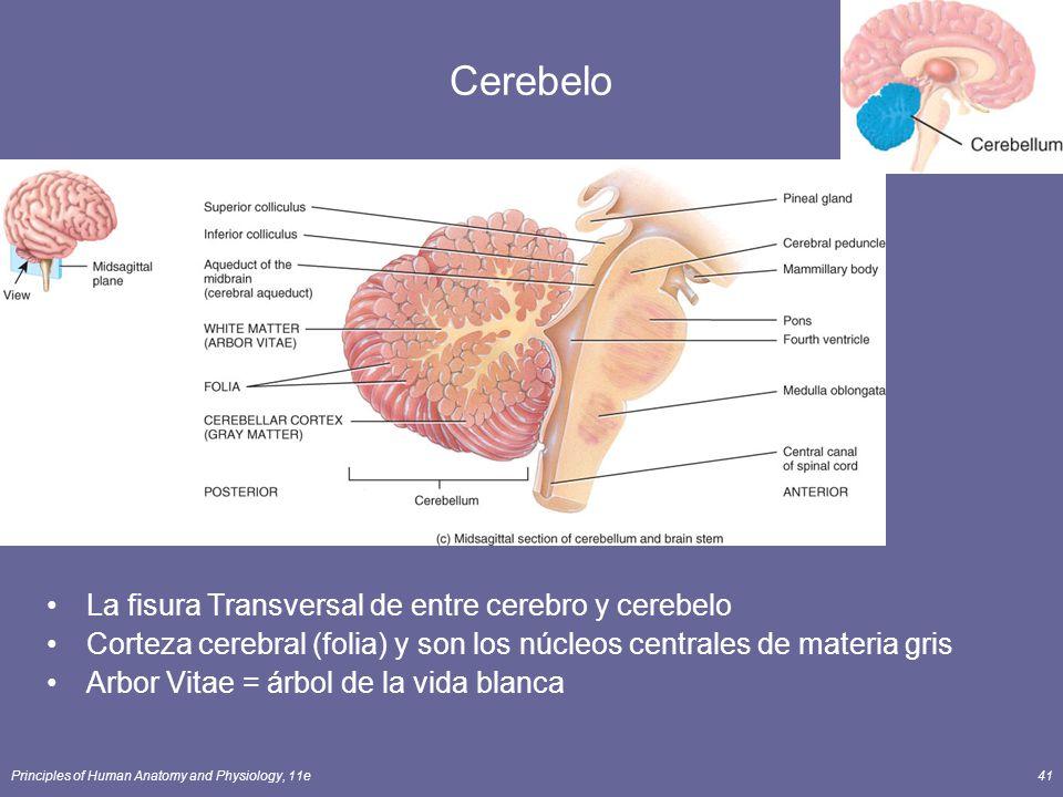 Cerebelo La fisura Transversal de entre cerebro y cerebelo
