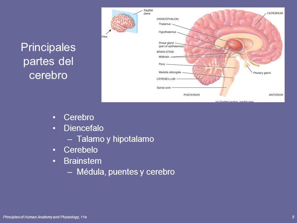 Principales partes del cerebro