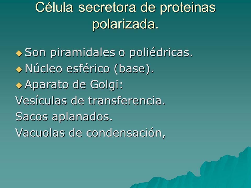 Célula secretora de proteinas polarizada.