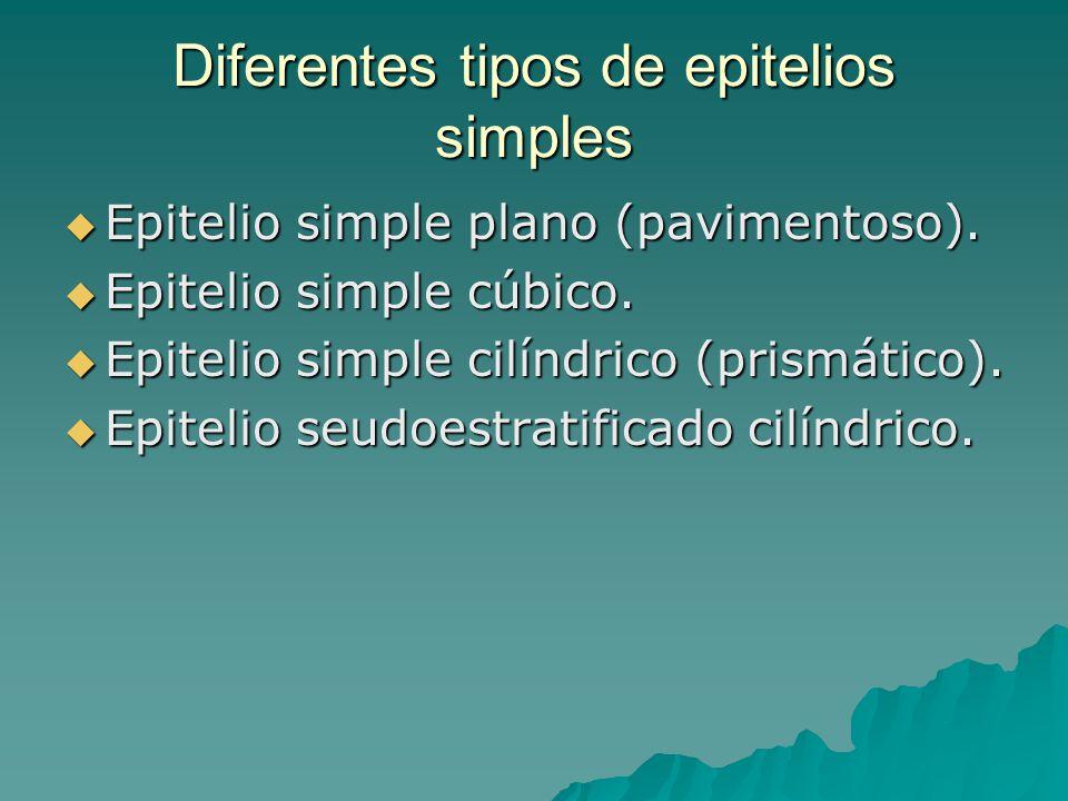 Diferentes tipos de epitelios simples