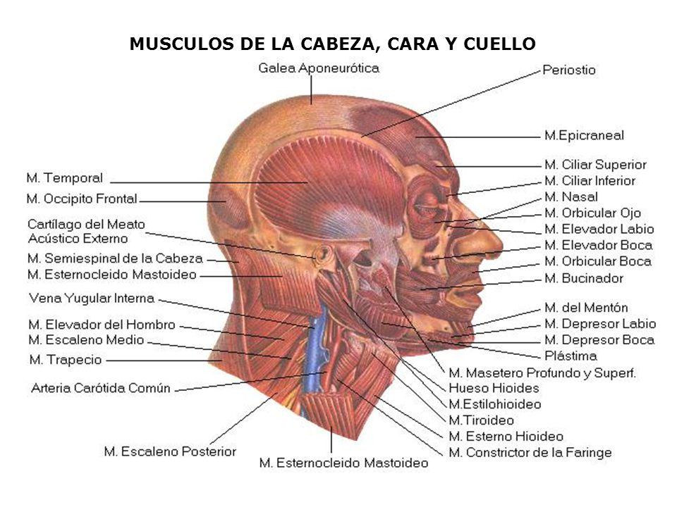 MUSCULOS DE LA CABEZA, CARA Y CUELLO