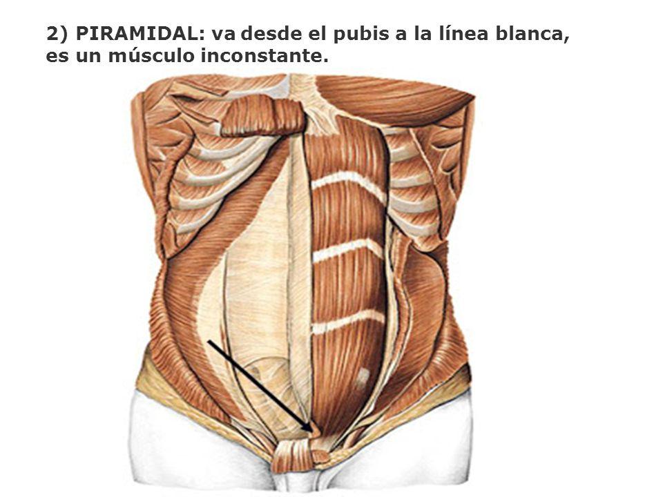 2) PIRAMIDAL: va desde el pubis a la línea blanca,