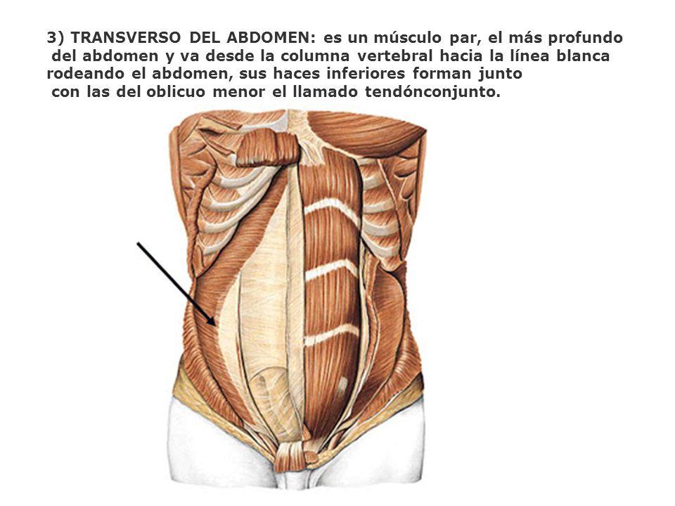 3) TRANSVERSO DEL ABDOMEN: es un músculo par, el más profundo