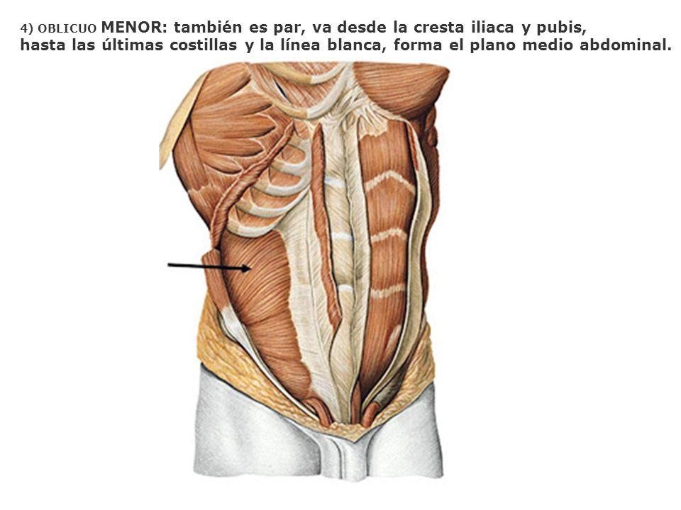 4) OBLICUO MENOR: también es par, va desde la cresta iliaca y pubis,