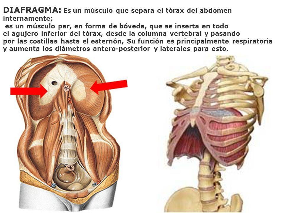 DIAFRAGMA: Es un músculo que separa el tórax del abdomen internamente;