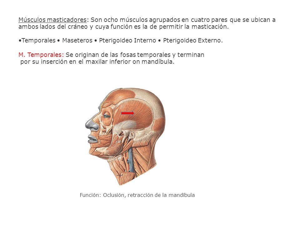 •Temporales • Maseteros • Pterigoideo Interno • Pterigoideo Externo.