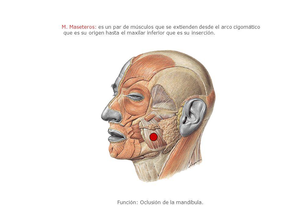 M. Maseteros: es un par de músculos que se extienden desde el arco cigomático