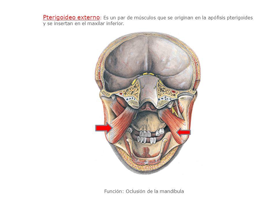 Pterigoideo externo: Es un par de músculos que se originan en la apófisis pterigoides