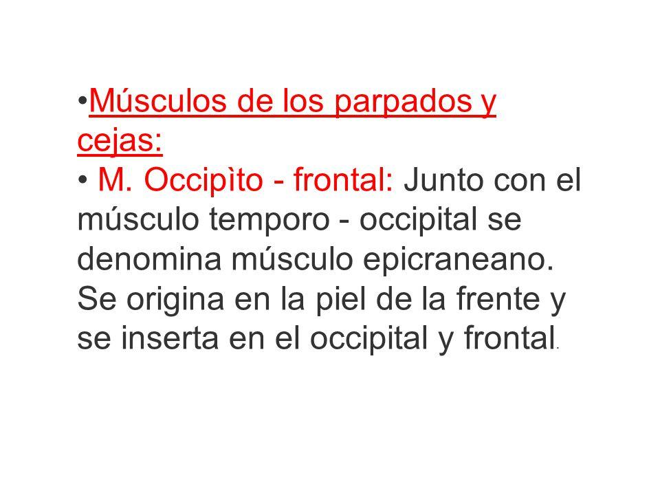 •Músculos de los parpados y cejas: