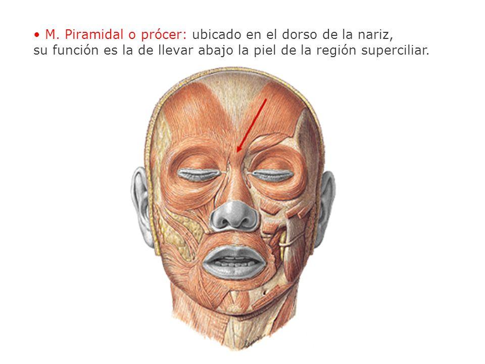 • M. Piramidal o prócer: ubicado en el dorso de la nariz,