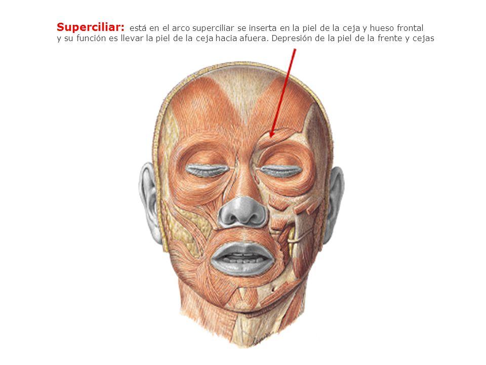 Superciliar: está en el arco superciliar se inserta en la piel de la ceja y hueso frontal