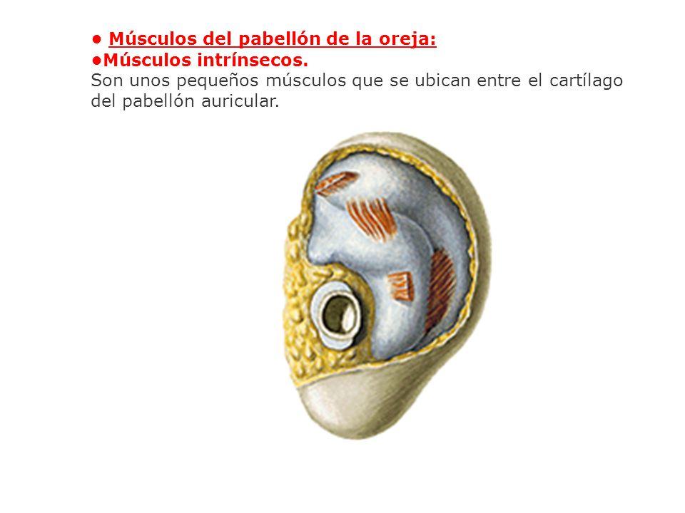 • Músculos del pabellón de la oreja: