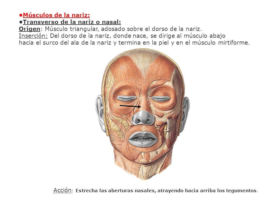 •Músculos de la nariz: •Transverso de la nariz o nasal: Origen: Músculo triangular, adosado sobre el dorso de la nariz.