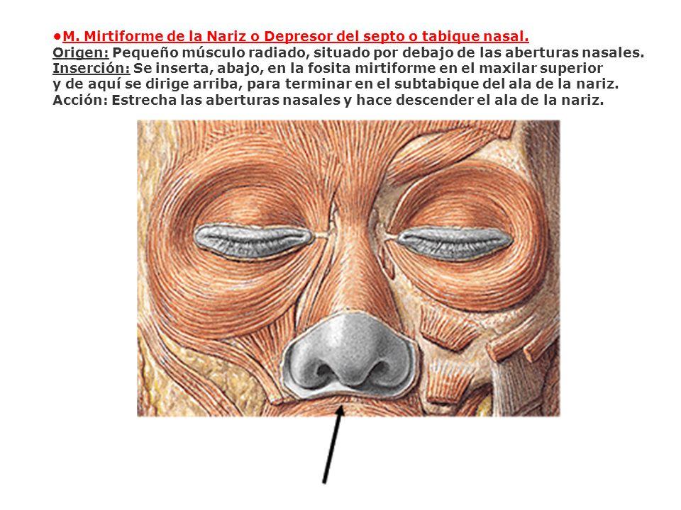 •M. Mirtiforme de la Nariz o Depresor del septo o tabique nasal.