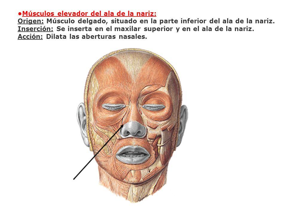 •Músculos elevador del ala de la nariz:
