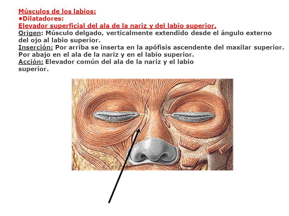 Músculos de los labios: