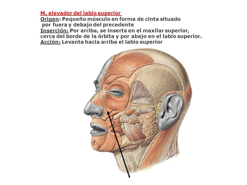 M. elevador del labio superior
