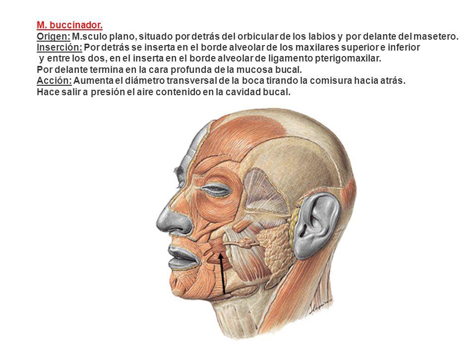 M. buccinador. Origen: M.sculo plano, situado por detrás del orbicular de los labios y por delante del masetero.