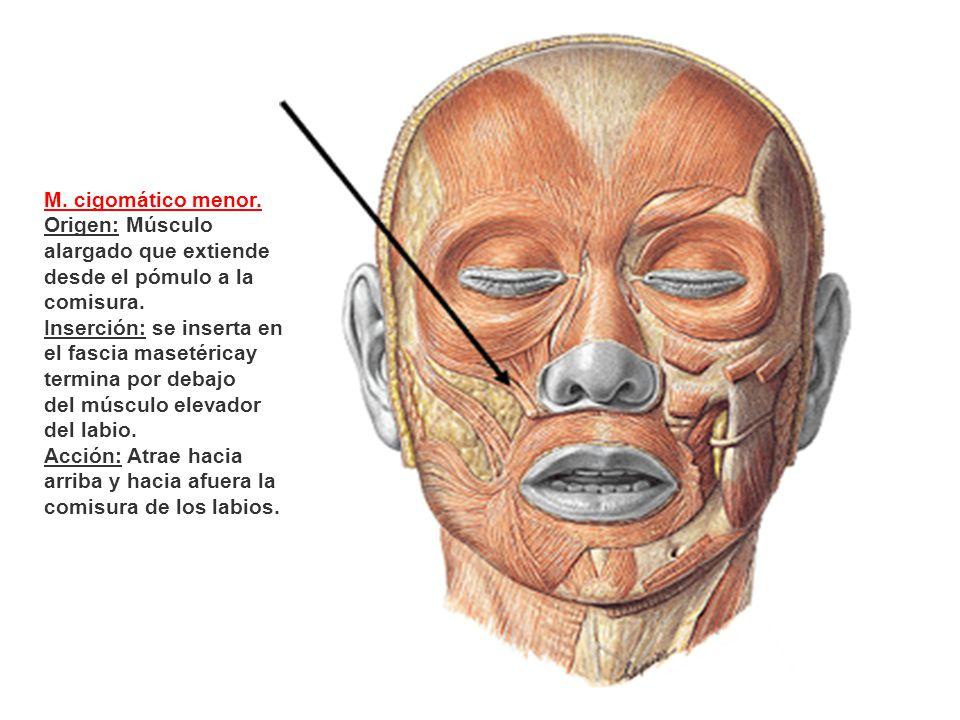 M. cigomático menor. Origen: Músculo alargado que extiende desde el pómulo a la comisura.