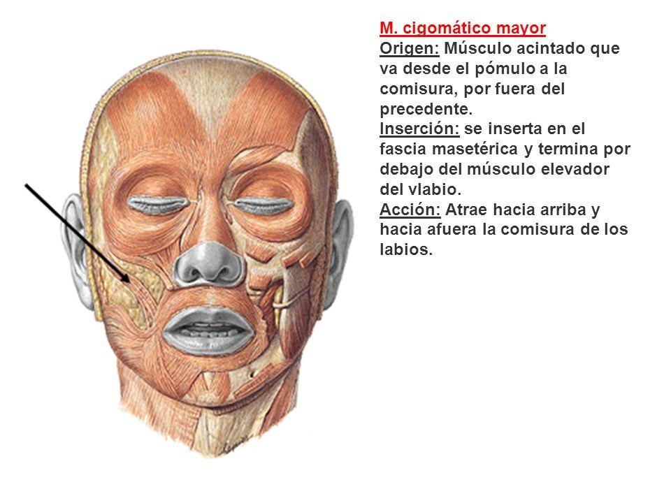 M. cigomático mayor Origen: Músculo acintado que va desde el pómulo a la comisura, por fuera del precedente.