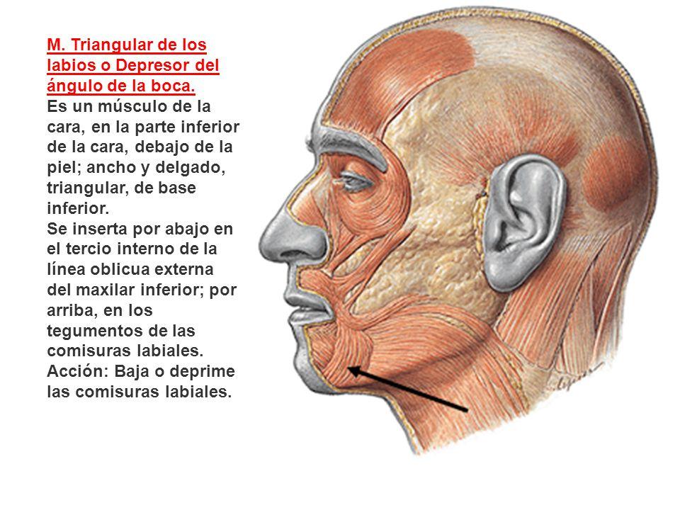M. Triangular de los labios o Depresor del ángulo de la boca.