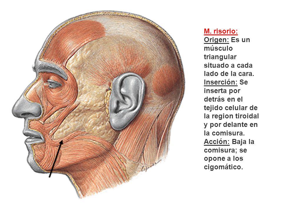 M. risorio: Origen: Es un músculo triangular situado a cada lado de la cara.