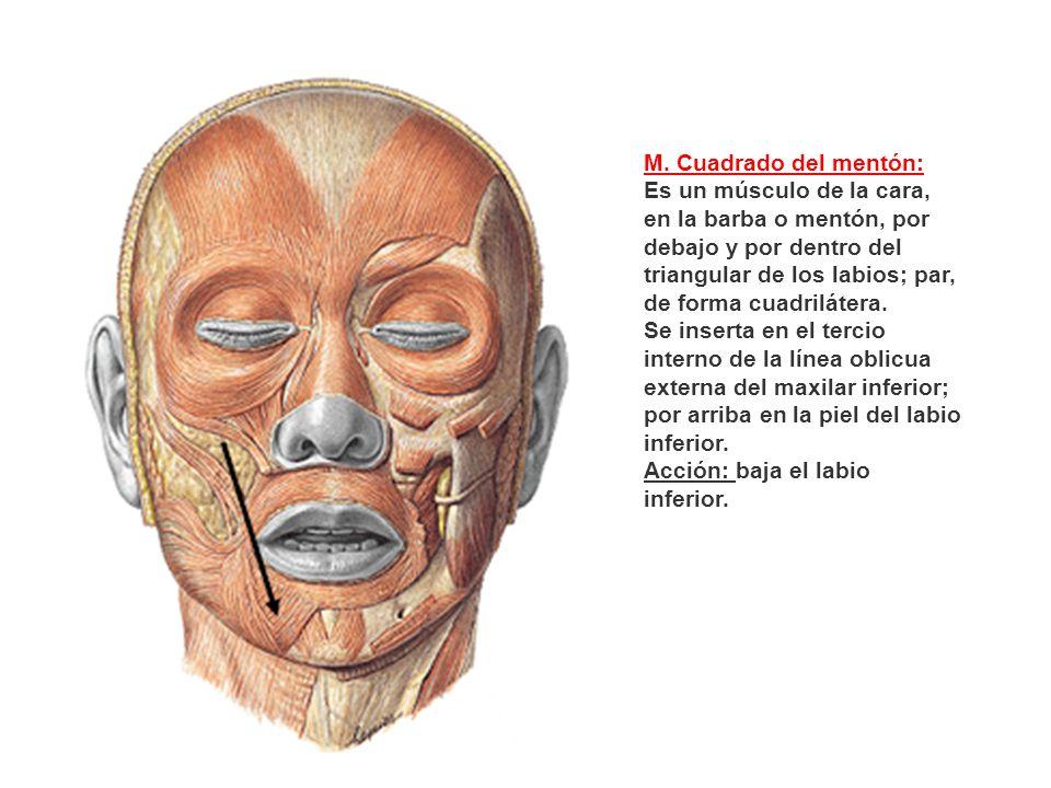M. Cuadrado del mentón: