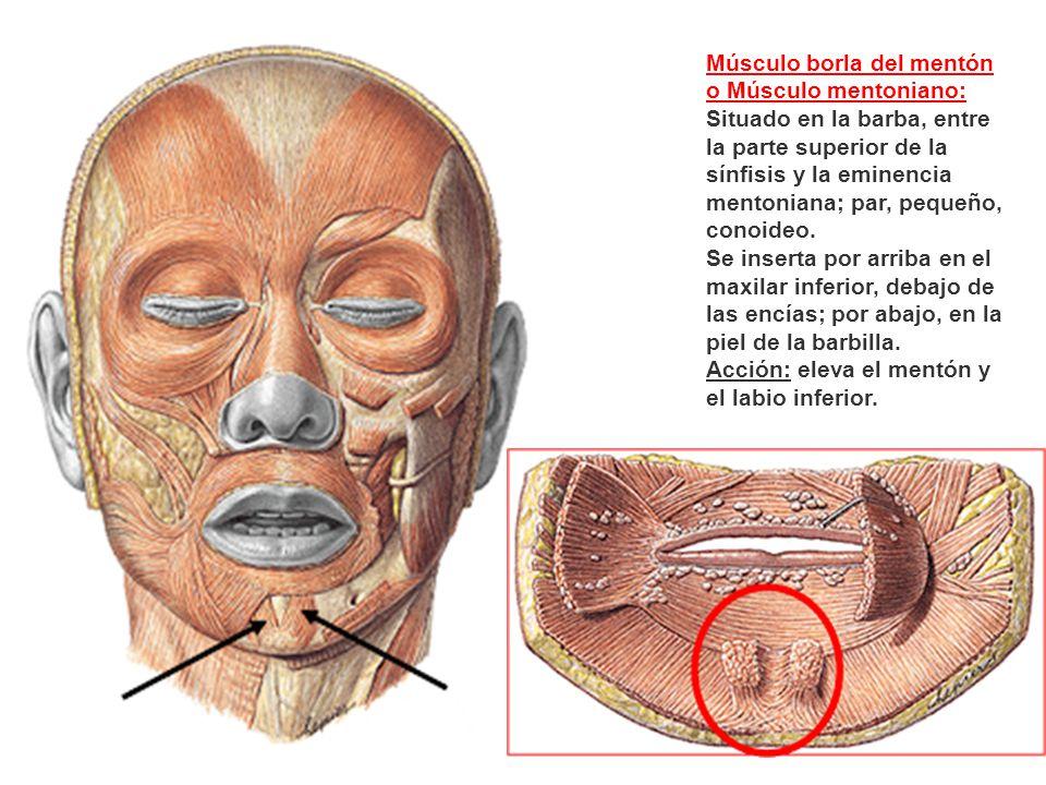 Dorable Bajo La Anatomía Barbilla Imágenes - Anatomía de Las ...