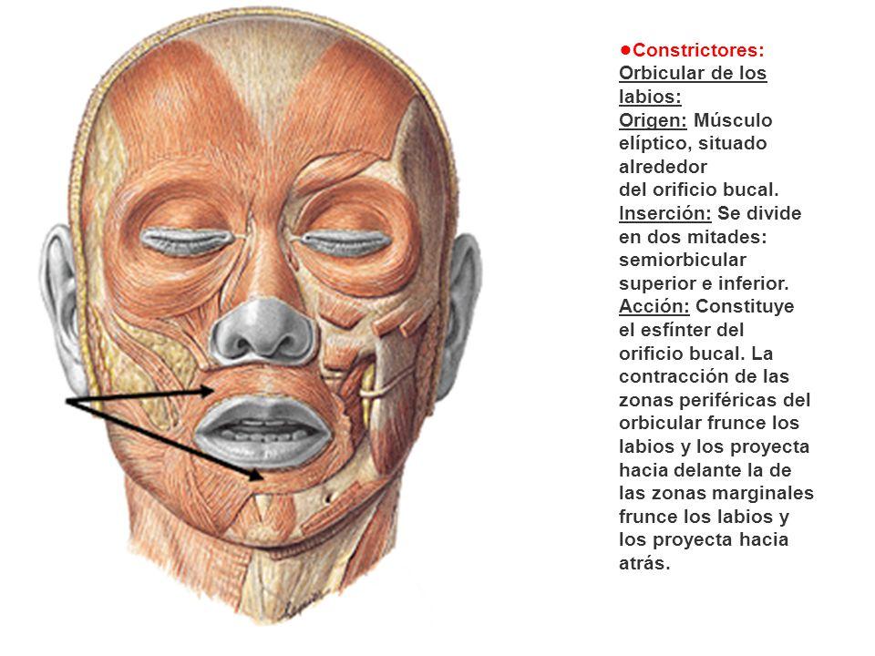 •Constrictores: Orbicular de los labios: Origen: Músculo elíptico, situado alrededor. del orificio bucal.
