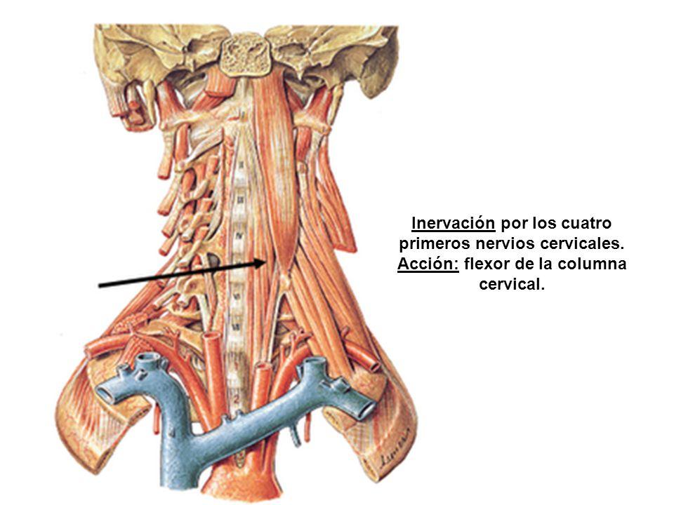 Inervación por los cuatro primeros nervios cervicales.