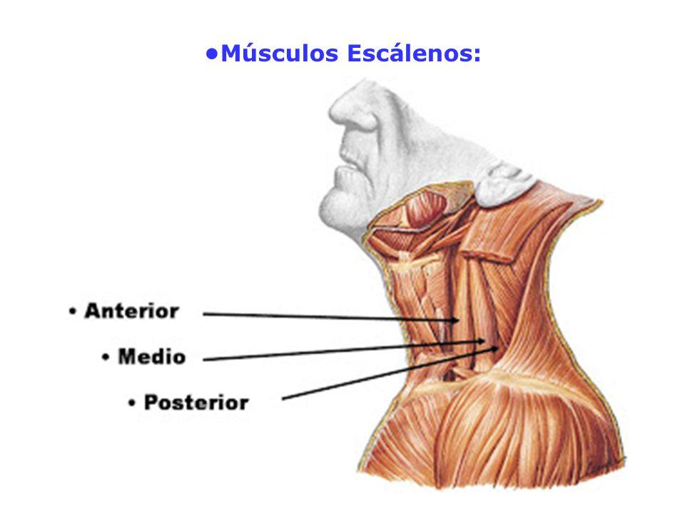 •Músculos Escálenos:
