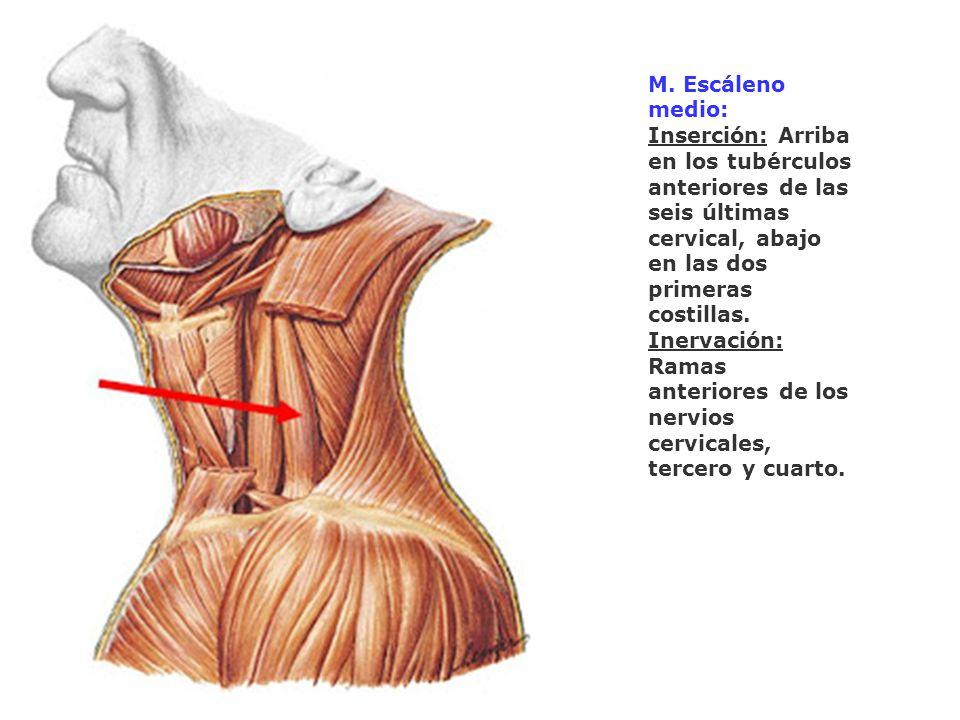 M. Escáleno medio: Inserción: Arriba en los tubérculos anteriores de las seis últimas cervical, abajo en las dos primeras costillas.