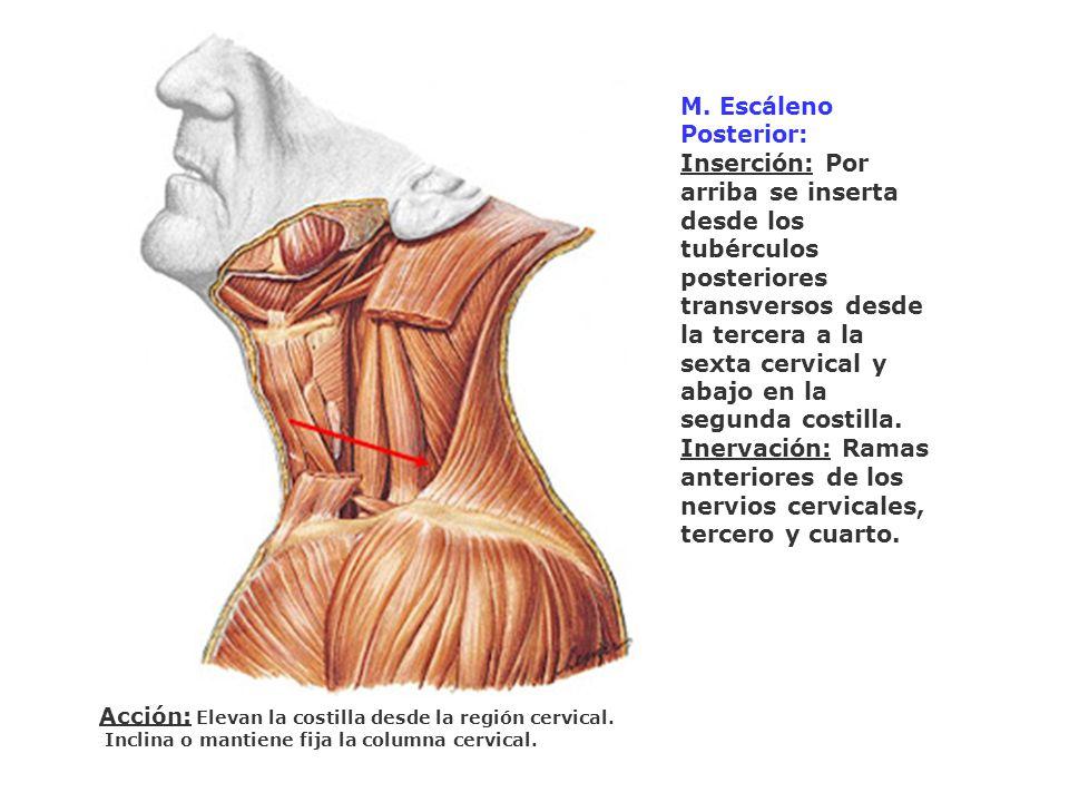 M. Escáleno Posterior: