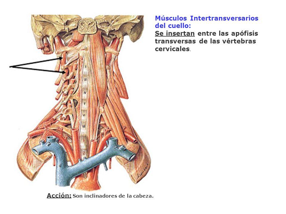 Músculos Intertransversarios del cuello: