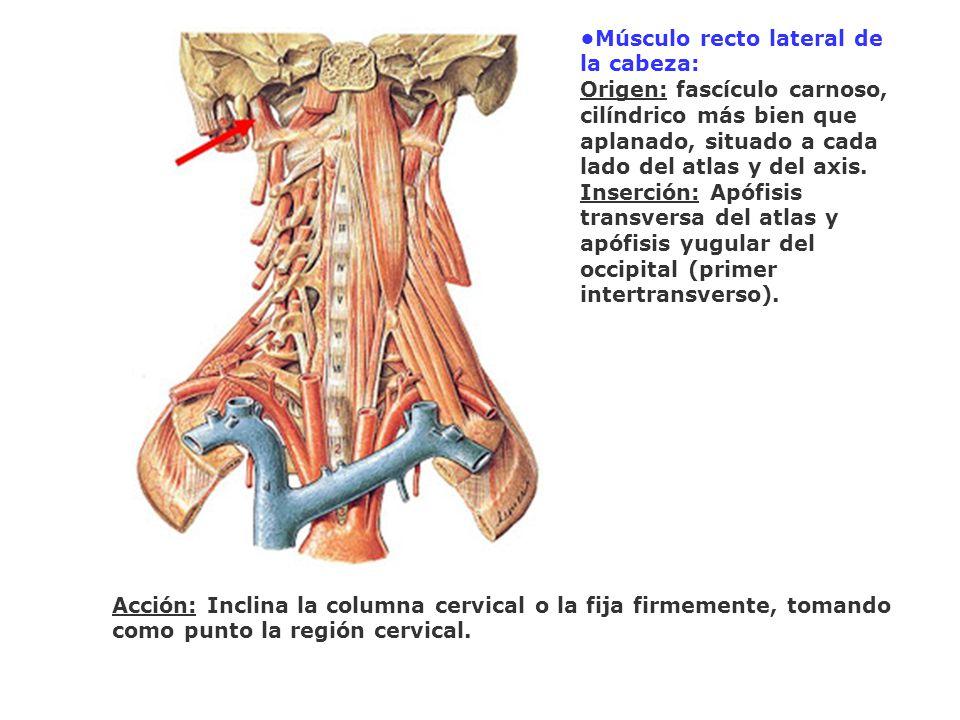 •Músculo recto lateral de la cabeza: