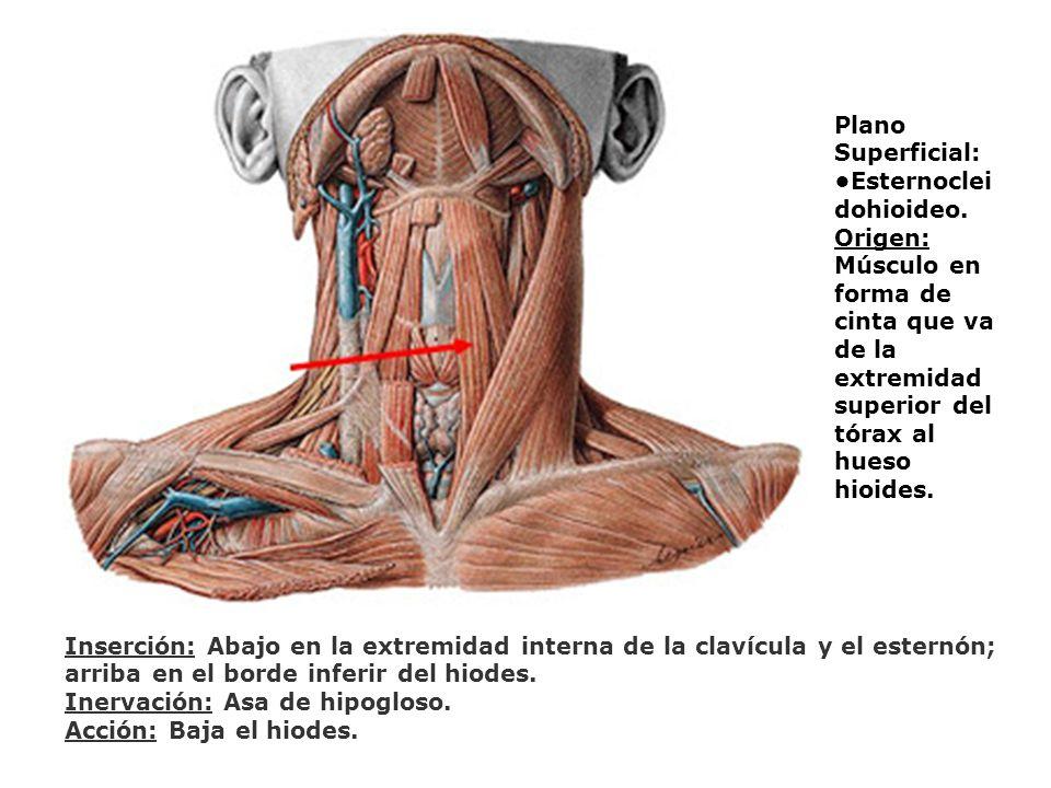 Plano Superficial: •Esternocleidohioideo. Origen: Músculo en forma de cinta que va de la extremidad superior del tórax al hueso hioides.