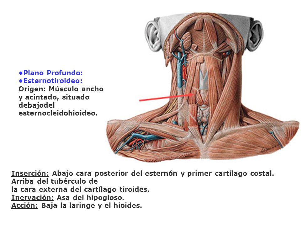•Plano Profundo: •Esternotiroideo: Origen: Músculo ancho y acintado, situado debajodel esternocleidohioideo.
