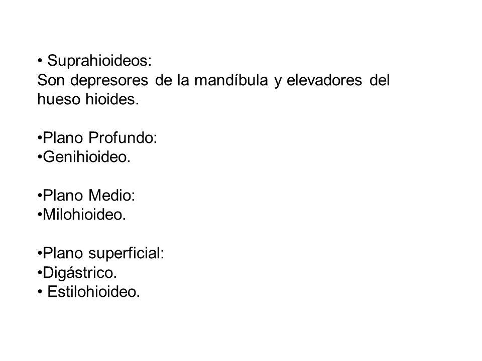 • Suprahioideos: Son depresores de la mandíbula y elevadores del hueso hioides. •Plano Profundo: •Genihioideo.