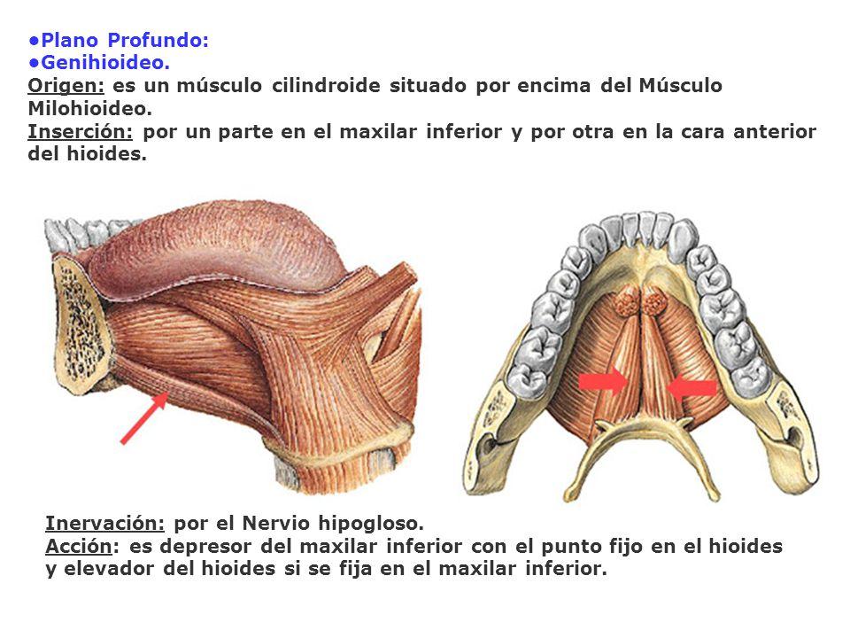 •Plano Profundo: •Genihioideo. Origen: es un músculo cilindroide situado por encima del Músculo Milohioideo.