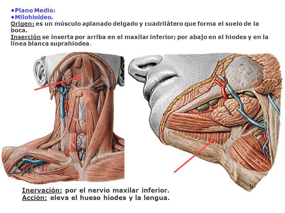 Inervación: por el nervio maxilar inferior.