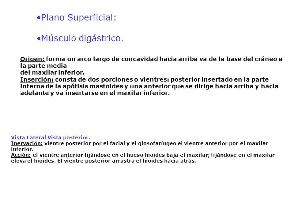 •Plano Superficial: •Músculo digástrico.