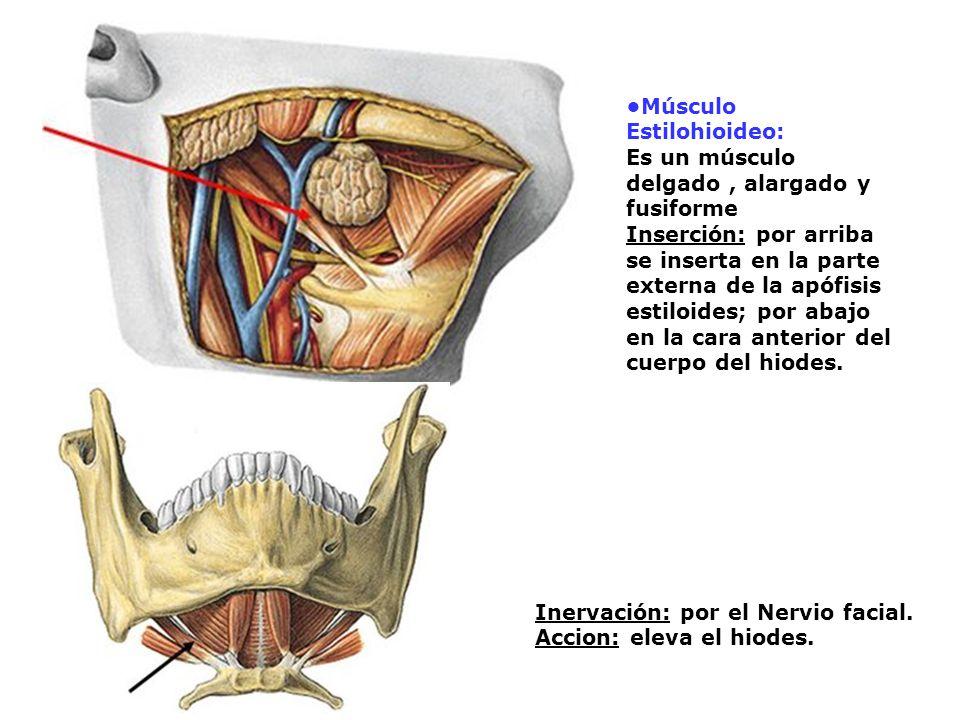 •Músculo Estilohioideo: