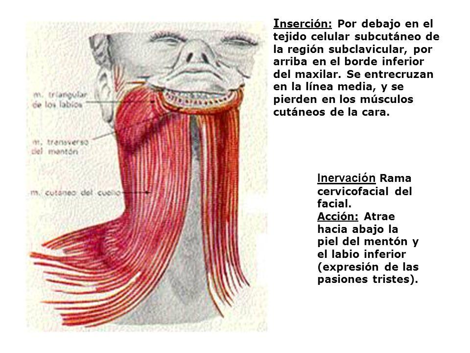 Inervación Rama cervicofacial del facial.