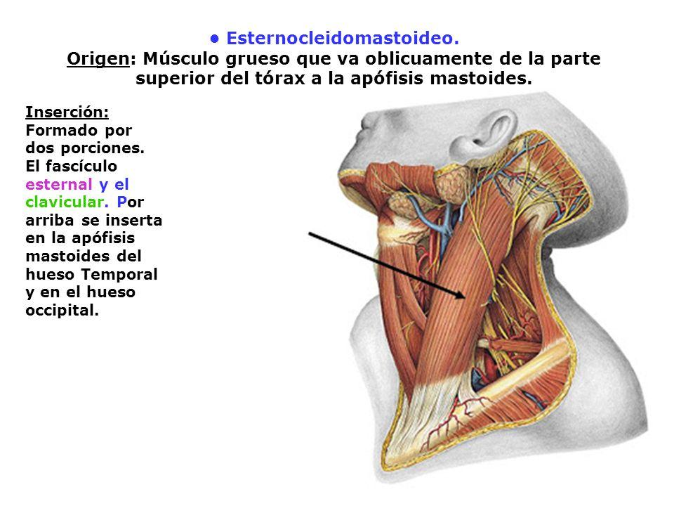 Músculos de mastoidal - 1 Esternocleidomastoideo, palpación en pinza ...